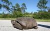 Gopher Tortoise Crossing the Road in Cedar Key Florida - Photo by Pat Bonish