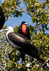 Pair of Magnificent Frigate Birds in Lopez Mateos Baja - 2008-Photo by Cindy Bonish