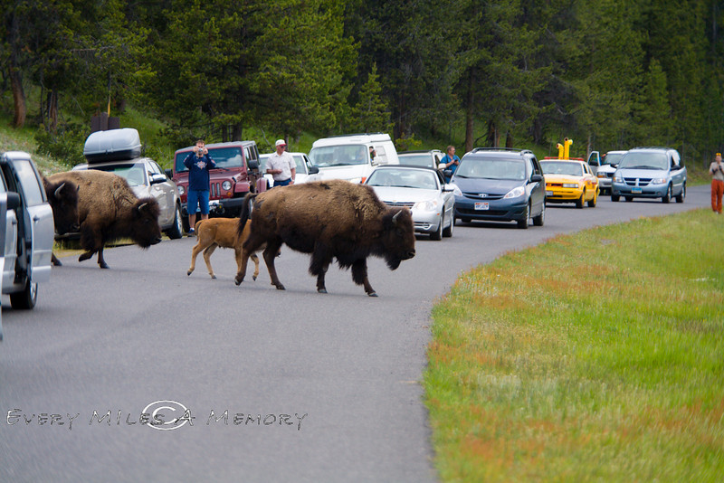 The Locals call them Buffalo Jams - Yellowstone National Park