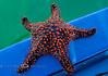 Sea Star - Isla Espiritu Santo Baja Mexico 08