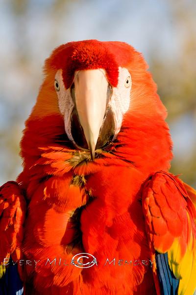 Very Colorful Macaw - Quartszite AZ 2008