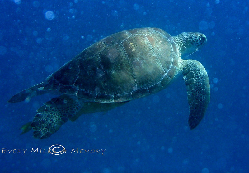 Sea Turtle - Virgin Island 2004