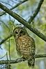 Barred Owl - Louisiana Swamp 2007