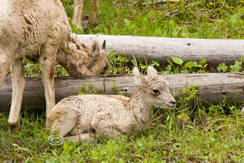 Infant Big Horn Sheep Yellowstone NP Photo By Cindy Bonish