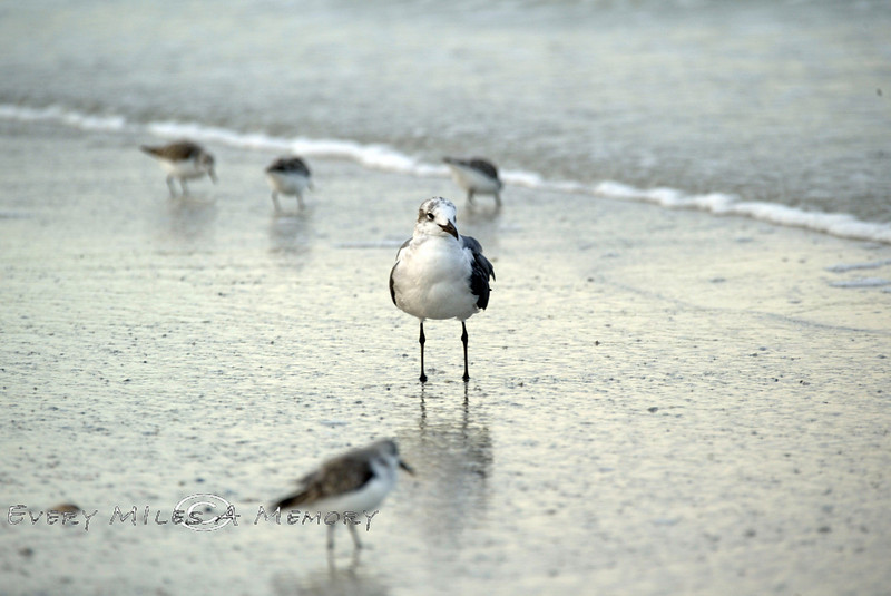 Sea Gull Amongst some Sindpipers - Anna Marie Island FL 2007