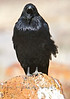 Screaming Raven - Petrified Forest National Park Arizona