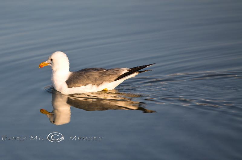 Swimming Seagull - Mono Lake Tufa CA 2008