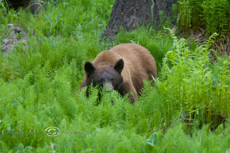 Big Brown Bear hiding in the Ferns - Sequoia National Park California 2008 - Photo by Cindy Bonish