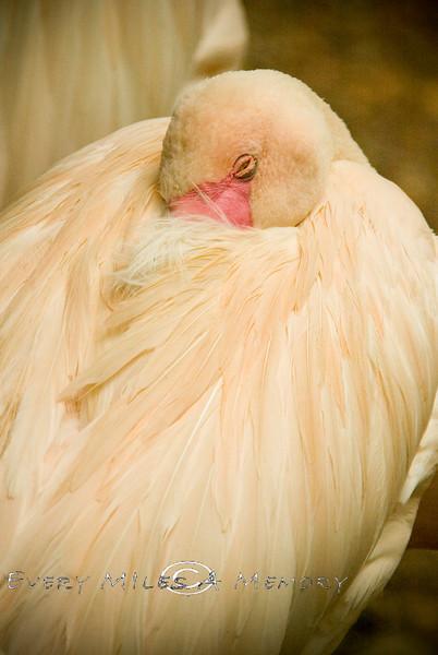 Sleeping Flamingo - Cincinnati Zoo 2007