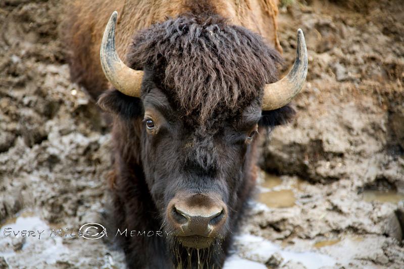 Buffalo Yellowstone NP Photo By Cindy Bonish