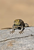Ready to jump - Ring Necked Lizard in Utah 2008