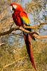 Big Macaw - Quartszite AZ 2008