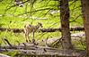 Big Horn Sheep Yelowstone Photo By Cindy Bonish