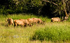 Six Bull Elk Grazing in an open field - Northern California 2008