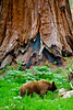 Red Haired Brown Bear in front of a Giant Sequoia - California 2008
