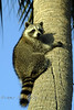 Racoon on a Palm Tree in FL 2007