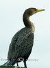 Rear Vew of an Anhinga - Cumberland Island GA 2007