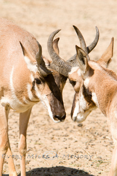 Prong Horn Antelope fighting for Studliness - Baja Mexico