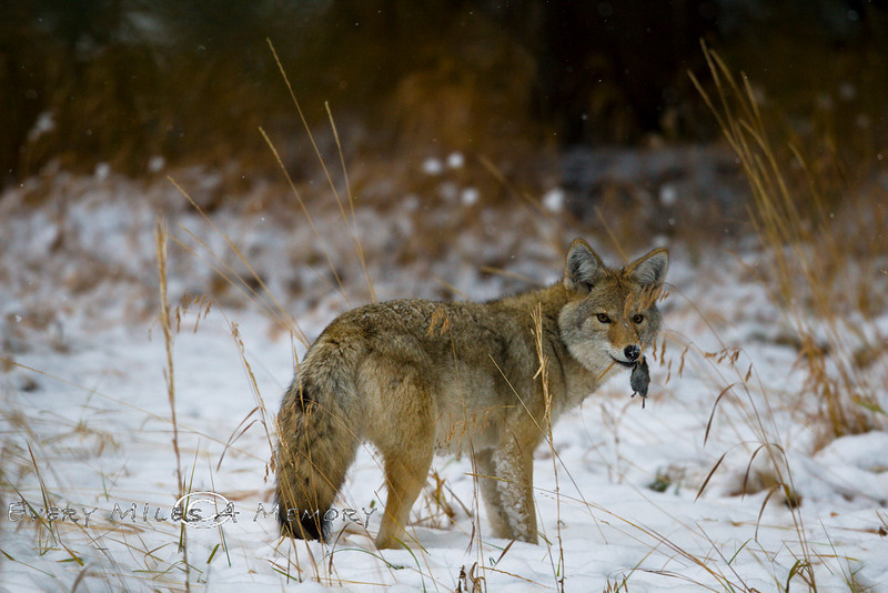 Coyote with a Fresh Kill - Yellowstone National Park - Photo by Pat Bonish