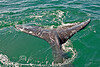 Swimming Under our Boat - California Gray Whale in Baja Mexico 2008-Photo by Cindy Bonish