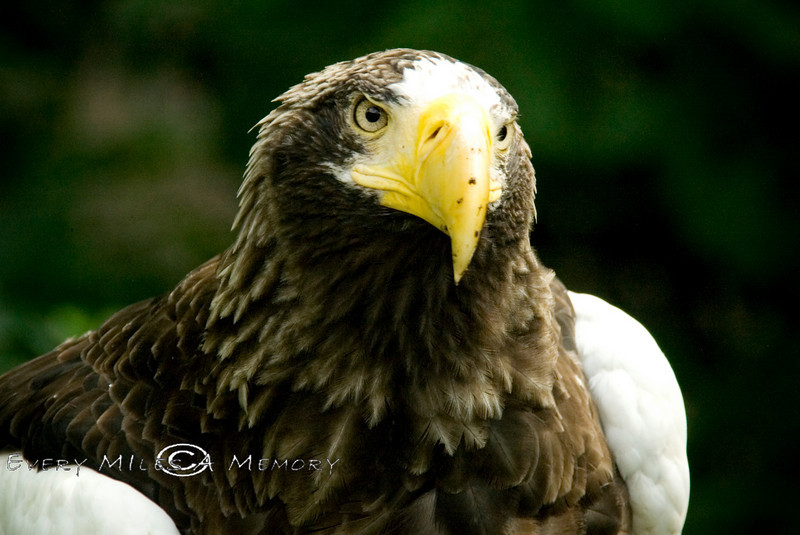 Stellar's Sea Eagle - Cincinnati Zoo 2007