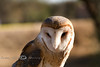 Barn Owl in Tuscon AZ 2007