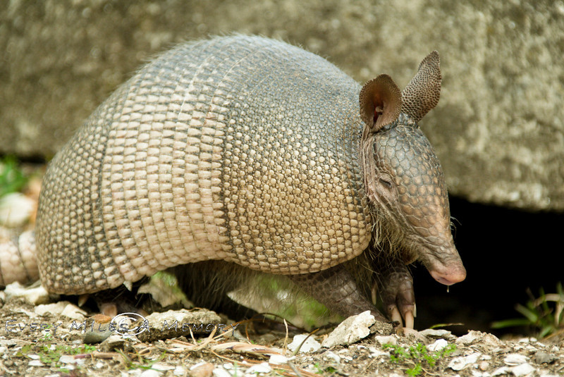 Ugly Looking Armadillo - Cumberland Island GA 2007