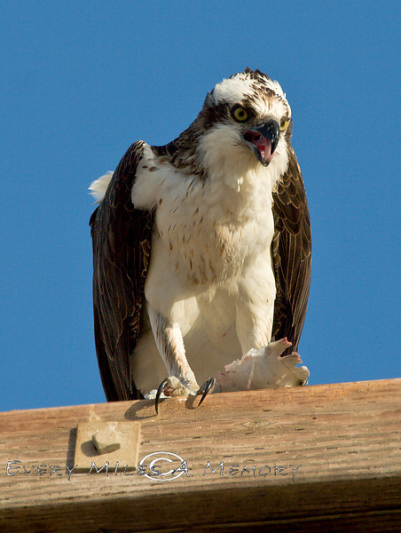 Screaming Osprey - Guerrero Negro Baja California, Mexico