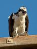 Screaming Osprey - Guerrero Negro Baja California, Mexico