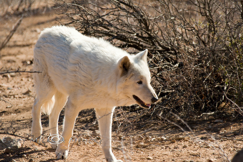 White Wolf - Arizona 2007