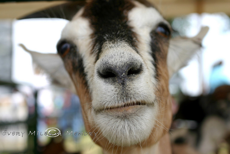 Upclose & Personal - Goat in MI 2006