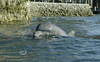 Dolphin having fun in Crystal River