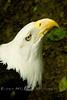 Angry Looking Bald Eagle - Cincinnati Zoo 2007