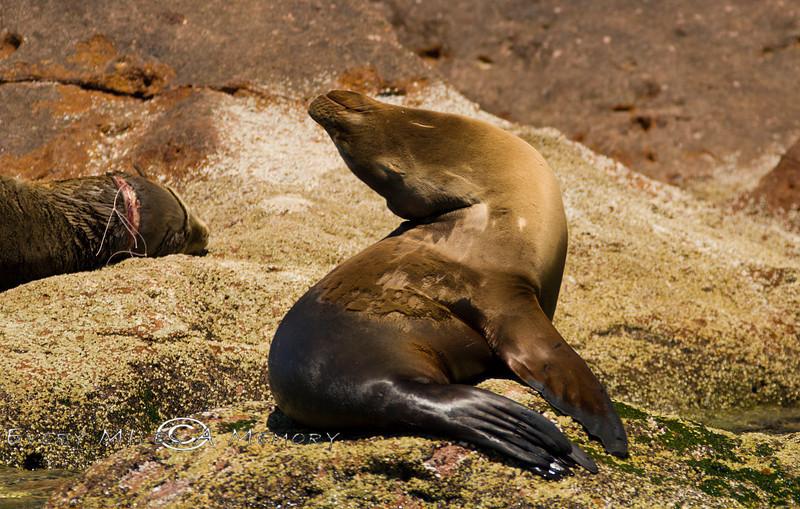 Sleeping Seal - Isla Espiritu Santo Baja Mexico 2008-Photo by CIndy Bonish