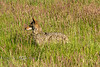 Coyote Hunting in tall grass - Northern California 2008