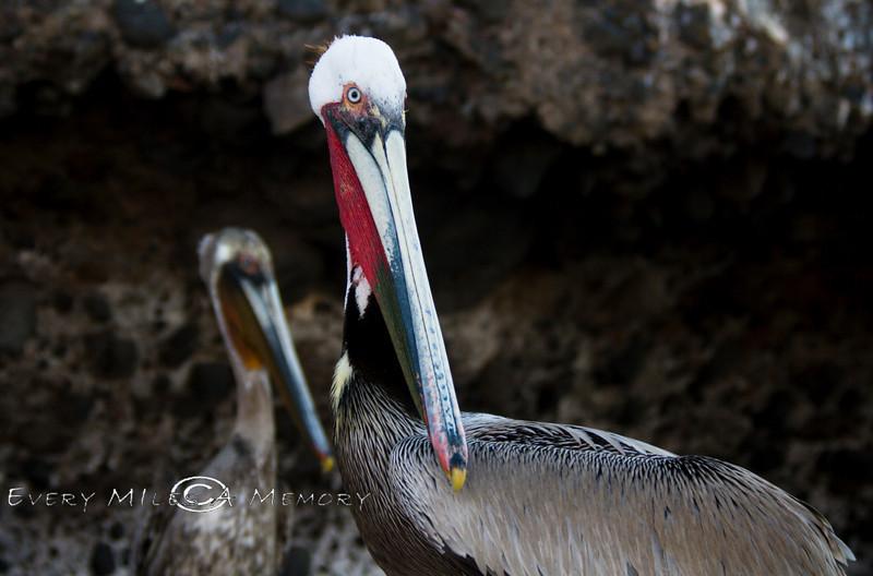 White Headed Pelican - Baja Mexico 2008