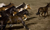Running of the Mules - Bishop Mule Days, California