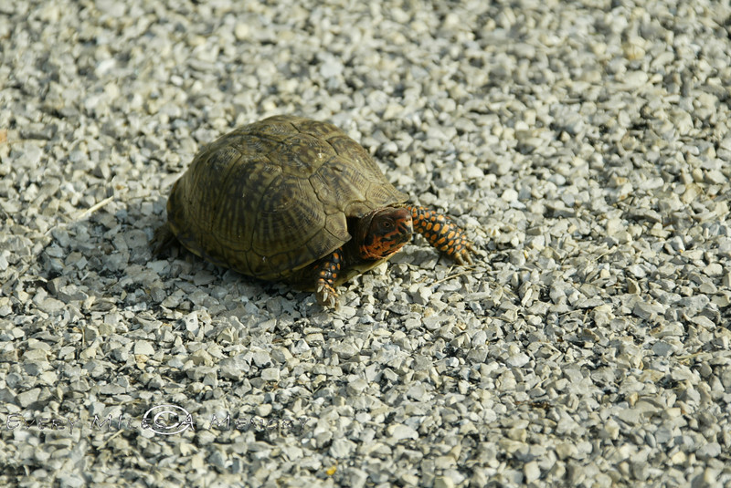 Why Did the Turtle Cross the Road - Arkansas 2007