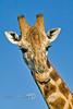 Giraffe - Arizona 2007
