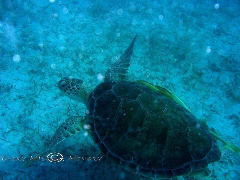 Sea Turtle - Virgin Island 2004 (1)