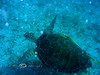 Sea Turtle - Virgin Island 2004 (1)