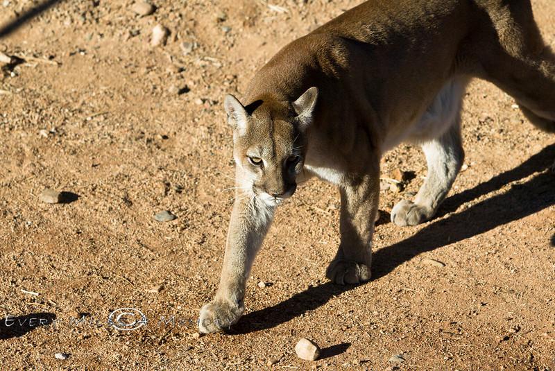 Stalking Mountain Lion - Arizona 2007
