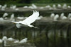Snowy Egret in Flight - Louisiana 2007