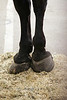 The Hoofs of Percheron Geldings - Bishop CA 2008
