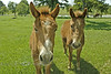 Twin Jackasses - Louisiana 2007