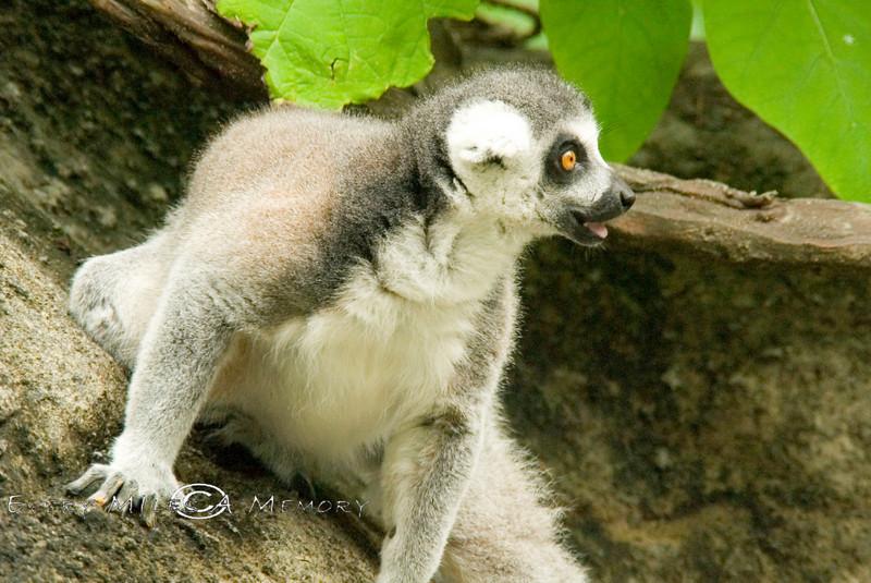 Ring Tailed Lemur - Cincinnati Zoo 2007