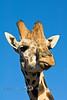 A Giraffe Licking his Lips - Arizona 2007