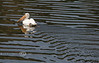 White Pelican in California 2008