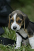 Baby Beagle looking so Sad - 2006