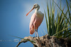 Roseate Spoonbill Perched on a Limb - Photo by Pat Bonish